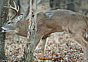 "Front Tree Buck 28"" x 40"" 100ct Reusable Box IN STOCK"